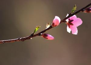 peach_flower2_small
